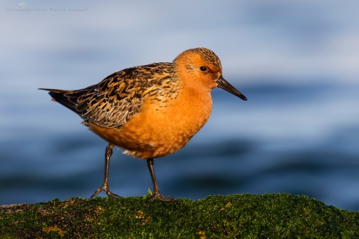 Red Knot - World Shorebirds Day Bird of the YearPhotographer: Mario Suárez Porras, Spain