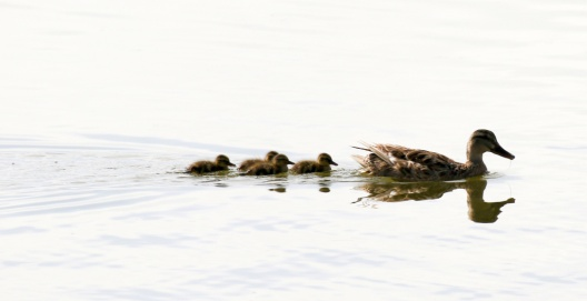 Mama Mallard and ducklings (R. Ehler 7/26/15)