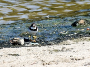 "Semipalmated Plover - some ""semi""-webbing of toes  visible(R. Ehler 7/26/15)"