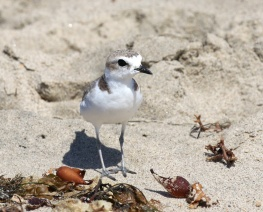 Snowy Plover - note lack of webbing between toes(R. Ehler 7/26/15)