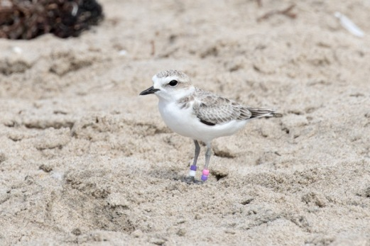 Snowy Plover PV:VW sporting new rings (R. Ehler 8/23/15)