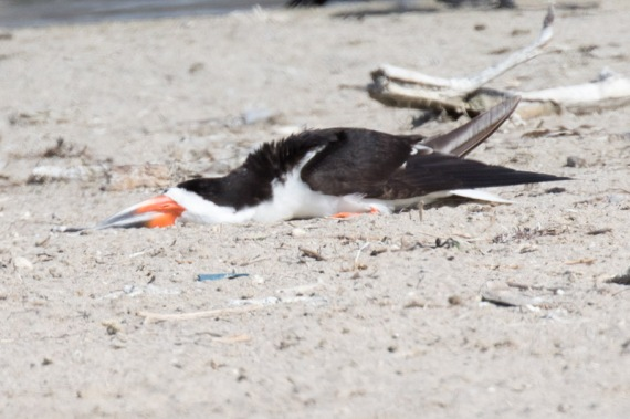 Black Skimmer sleeping (R. Ehler 8/23/15)