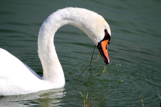 Mute swan, feeding (Joyce Waterman 8/23/15)