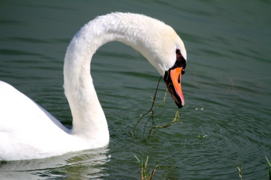 Mute swan, feeding (Joyce Waterman 8/23/15)