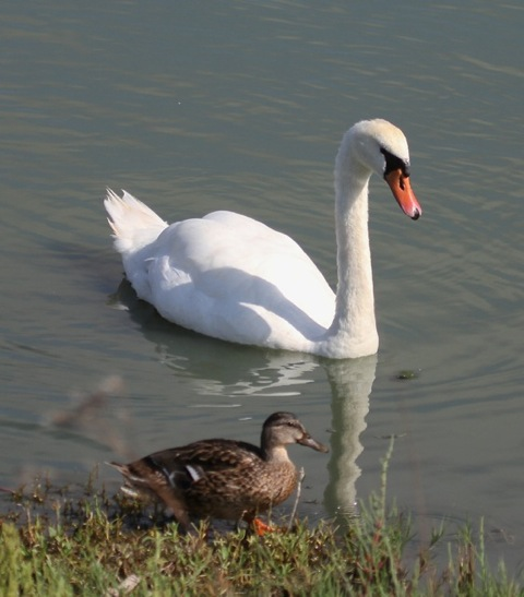 Mute swan and Mallard female (Joyce Waterman 8/23/15)