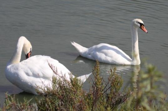 Mute Swan pair (Joyce Waterman 8/23/15)
