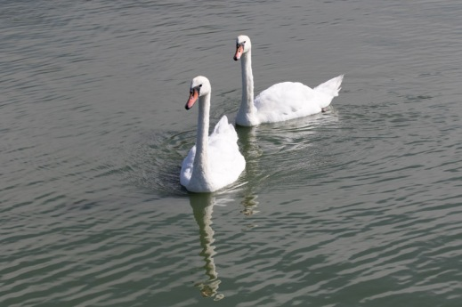 Swimming Mute Swan pair (R. Ehler 8/23/15)