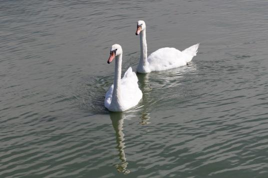 Swimming Mute Swan pair (Randy Ehler 8/23/15)