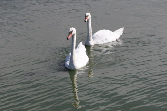 Swimming Mute Swan pair (Randy Ehler 8/23/15)