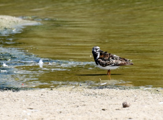 Still-colorful Ruddy Turnstone (R. Ehler 7/26/15)