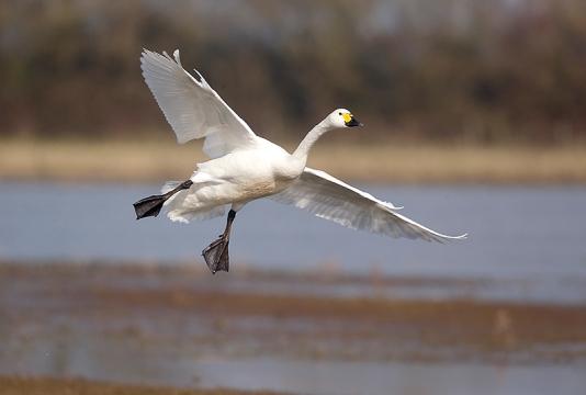 Bewick's swan (Mike Lane Gloucestershire, Feb 2013)
