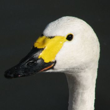 Bewick's race of Tundra Swan (Photographer's Resource)