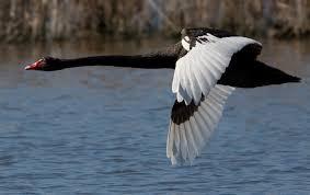Black Swan 9/11/08 (J.J. Harrison - Tasmania, Australia)