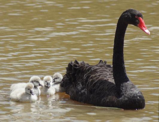 Black Swan, white cygnets (Araminta, Melbourne, Australia)