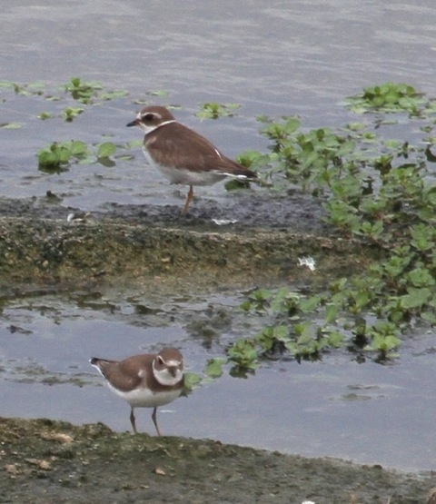 Semi-palmated Plovers 9/19/2015 Joyce Waterman