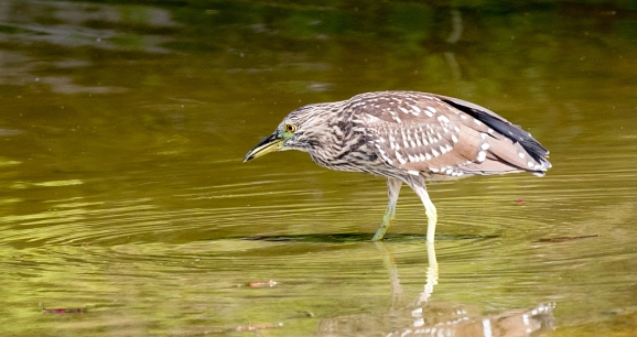 Juvenile Black-crowned Night-Heron stalking (R. Ehler 9/27/15)