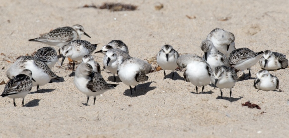 The similar Sanderling often roost with Snowy Plovers (R. Ehler 9/27/15)