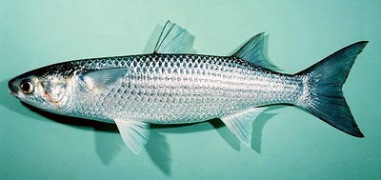 "Striped Mullet - definitely not a ""Sea Bass"" (Smartfarming)"