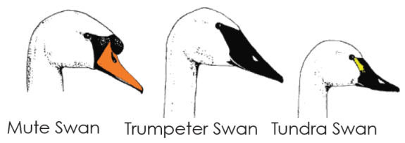 Comparison of N.A. swan heads (North Carolina Wildlife Resources Commission & Trumpeter Swan Society)