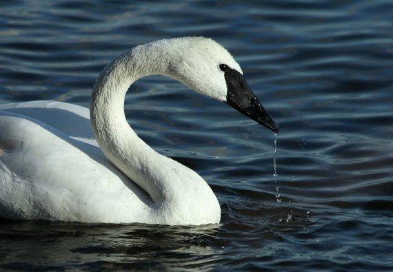 Trumpeter Swan (Miriam Bauman Jan 7 2012 - Burlington, Ontario, Canada)
