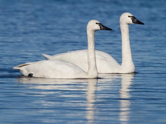 Tundra Swan Pair (Mike at RoadsEndNaturalist.com)