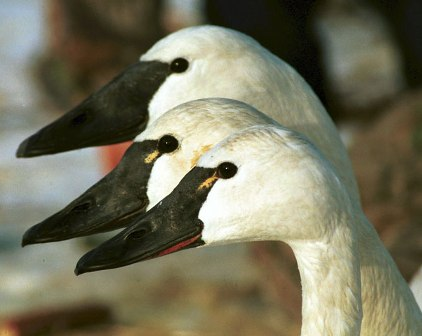 Trumpeter and two Tundra Swans (Swan Paradise.com)