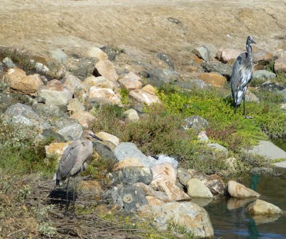 Juvenile Reddish Egret (L) & Great Blue Heron (R) (C. Almdale 10/10/15)