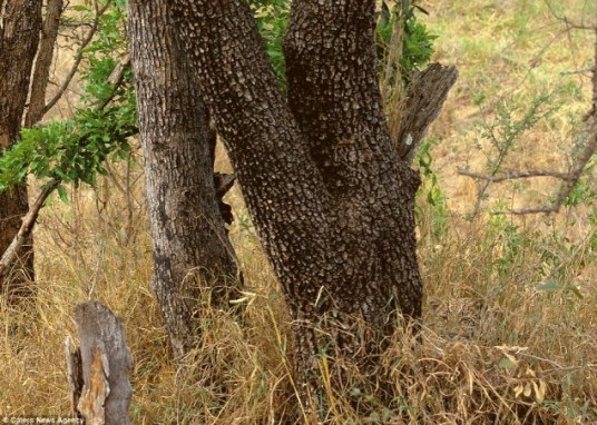 hidden_leopard