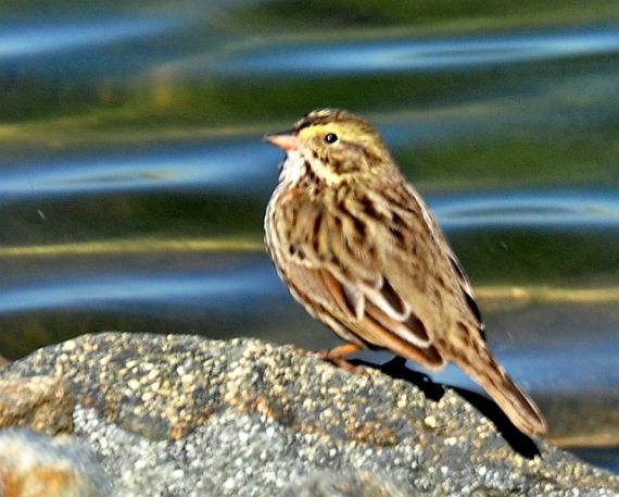 Savannah Sparrow - the usual form (R. Hargraves 10/8/11)