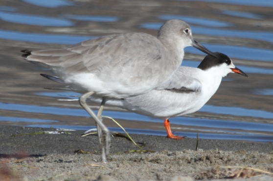 """At 15"""", the Willet is only 1/2"""" longer than the Common Tern (Joyce Waterman 10/11/15)"""