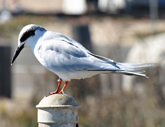 Forster's Tern - note pale gray at nape (Rob Hargraves, Bolsa Chica 10/8/11)