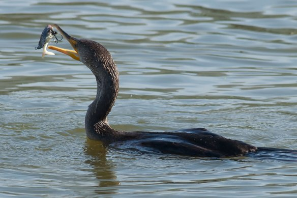 Sometimes this Double-crested Cormorant looked hooked, sometimes not (Kirsten Wahlquist 9/27/15)