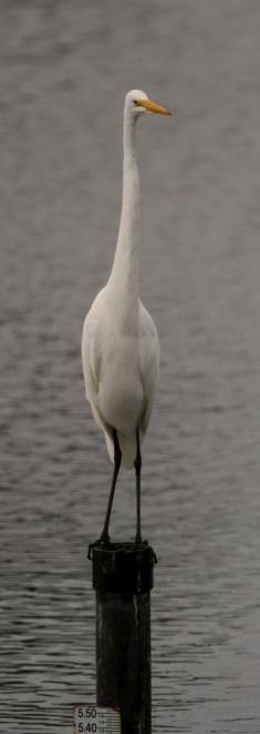 Great Egret pole extension (J. Waterman 10/25/15)