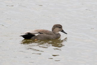 The elegant Gadwall male (R. Ehler 10/25/15)