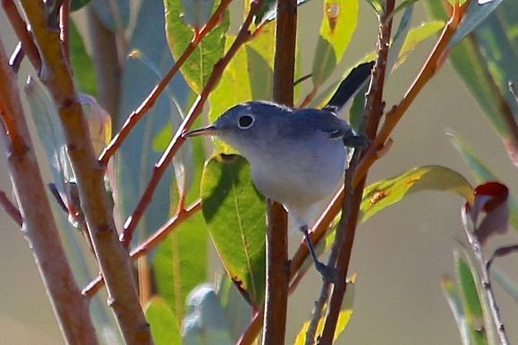 Blue-gray Gnatcatcher (J. Waterman 11/22/15)