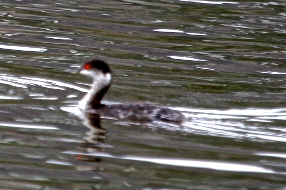 Why is this a Horned Grebe and not an Eared Grebe? (Joyce Waterman 10/25/15