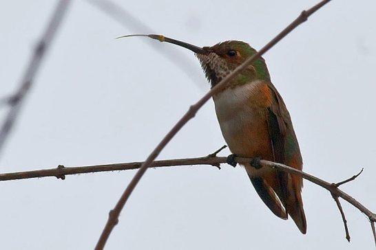 Allen's Hummingbird and his fabulous tongue (Kirsten Wahlquist 10/25/15)