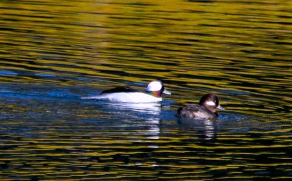 Iridescent male Bufflehead J. Waterman 11/21/15 del Rey Lagoon