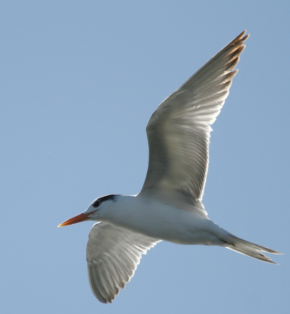 Royal Tern J.Waterman 11/21/15 Ballona Creek