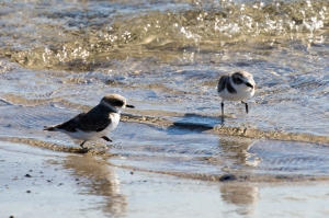Snowy Plovers at sea's edge for a change (R. Ehler 11/22/15)