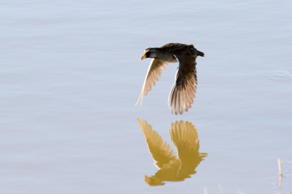 Sora flying between reed patches (R. Ehler 11/22/15)