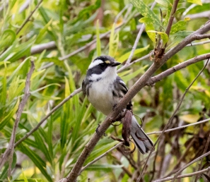 Black-throated Gray Warbler: yellow lores but no black throat (R. Ehler 10/25/15)