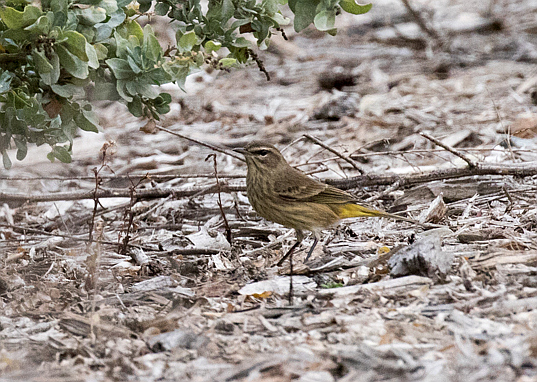 Palm Warbler - visiting from east of the Rockies (R. Ehler 10/25/15)
