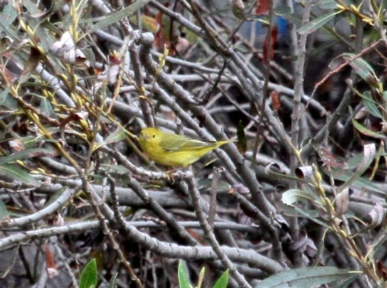 Yellow Warbler (J. Waterman 10/25/15)