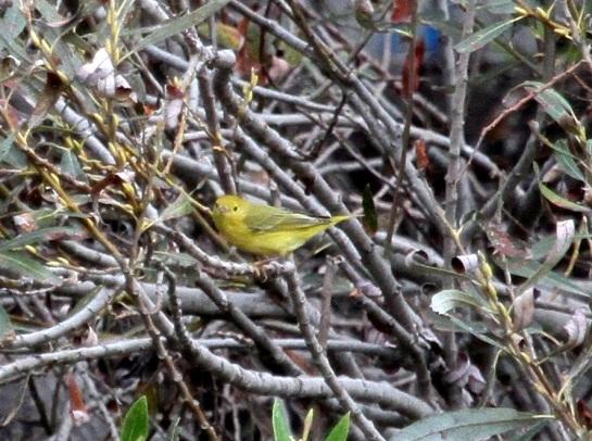 Yellow Warbler (J. Waterman 10/25/15)