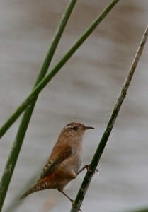 The elusive Marsh Wren(J. Waterman 10/25/15)