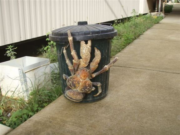 Coconut Crab (from Imgur)