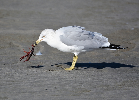 Ring-billed Gull wrestles with a red crab (Grace Murayama 12-18-15)