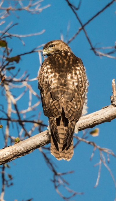 Red-tailed Hawk's mottled back (Ray Juncosa 12/12/15)