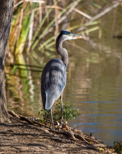 This Great Blue Heron almost picked our pockets (Ray Juncosa 12/12/15)
